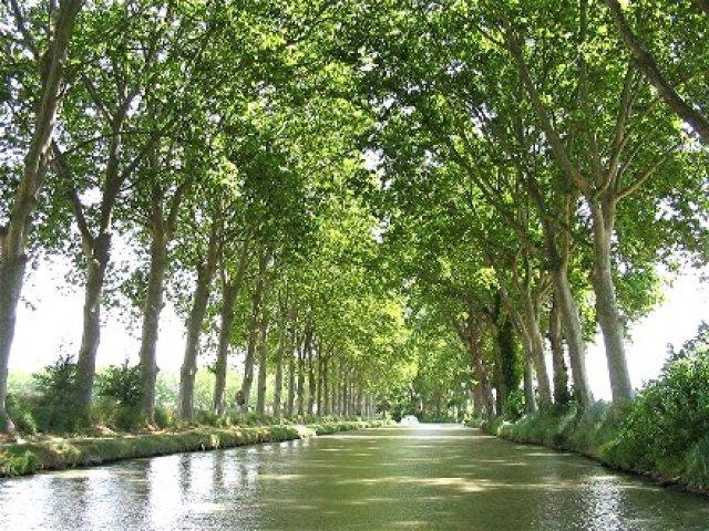 Platanes en bord de rivière